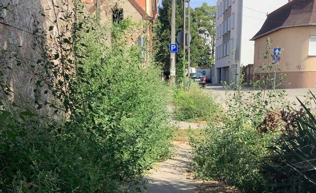 Csokonai utca – Debrecen – dudva – gyom